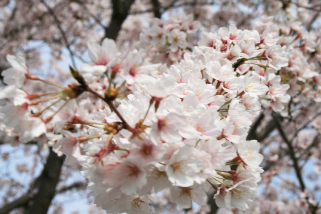 長久手市香流の桜1