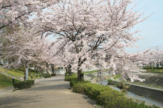 長久手市香流の桜2